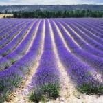 Lavendel in La Drôme
